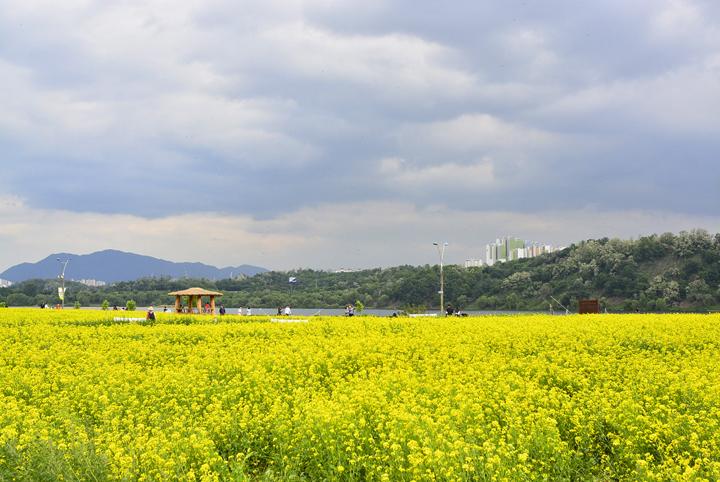 한강 가까운 곳 유채꽃밭에