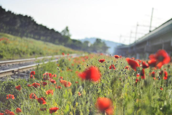 개양귀비 꽃밭