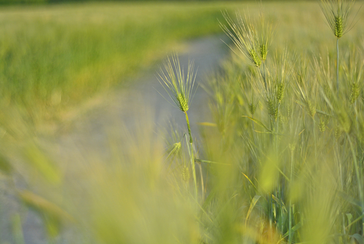 시민농장의 청보리밭