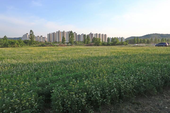 시민농장의 메밀꽃밭