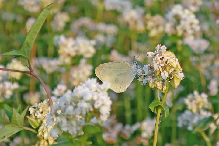 메밀꽃에 앉은 나비