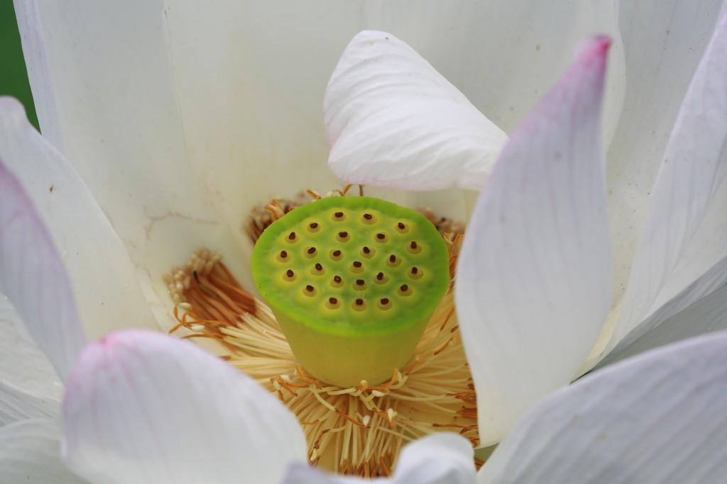 흰 연꽃 속 연밥