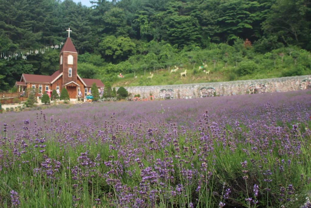 교회와 라벤더밭
