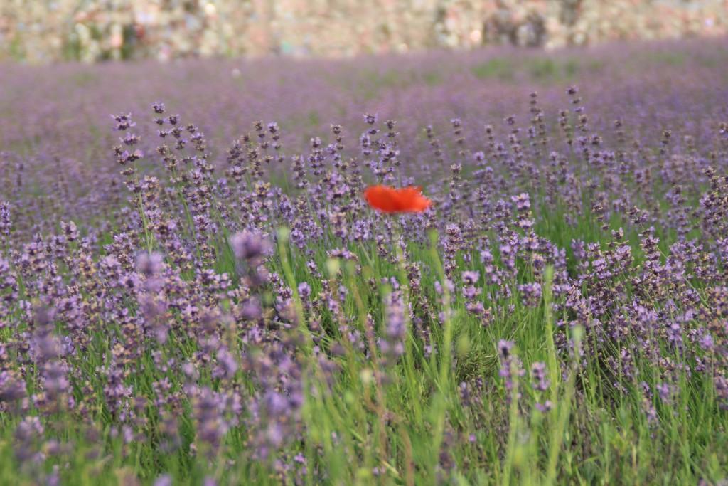 라벤더 사이로 핀 양귀비꽃