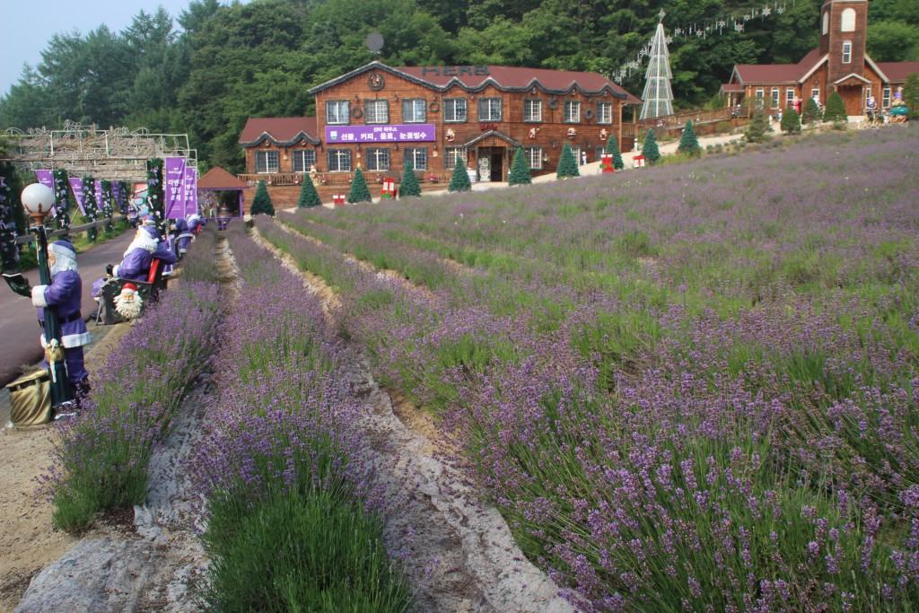라벤더 상점과 교회 그리고 라벤더밭