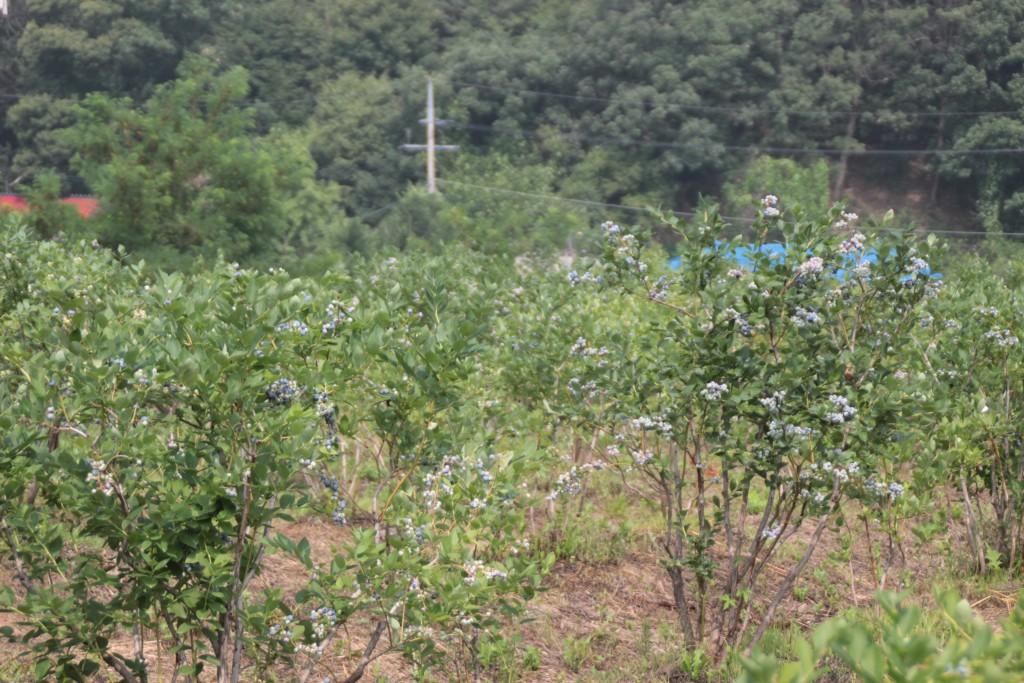 블루베리밭