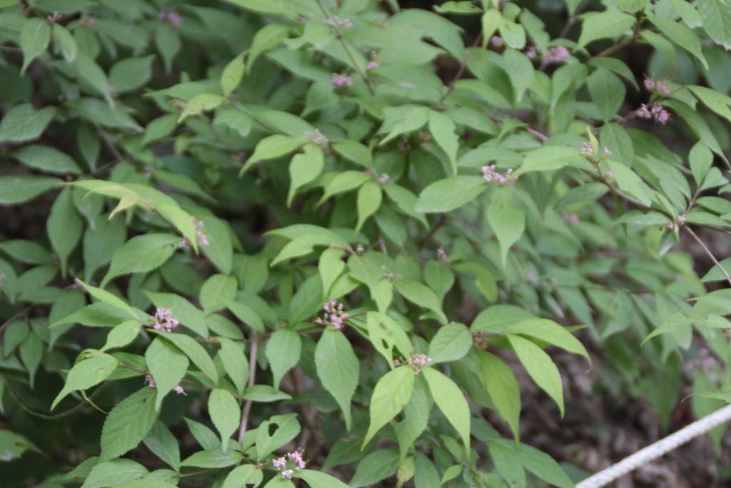 작살나무 꽃
