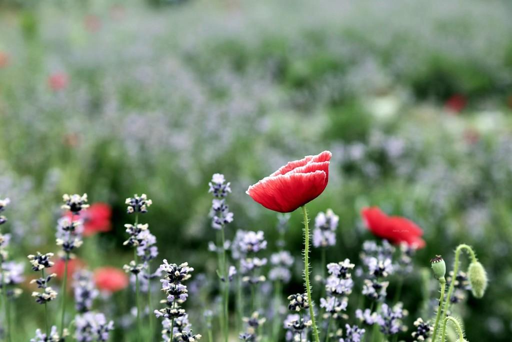 라벤더 꽃밭 사이 양귀비 꽃