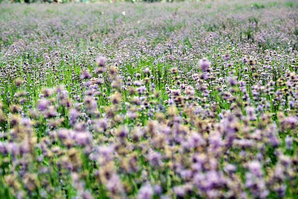 라벤더꽃밭