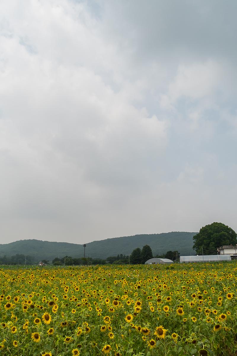 해바라기농장