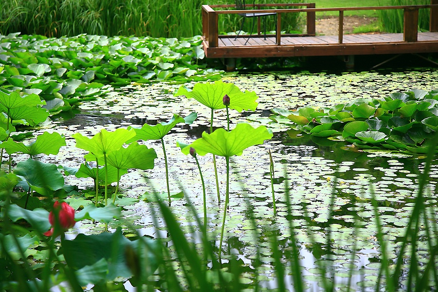 연못의 연꽃과 데크