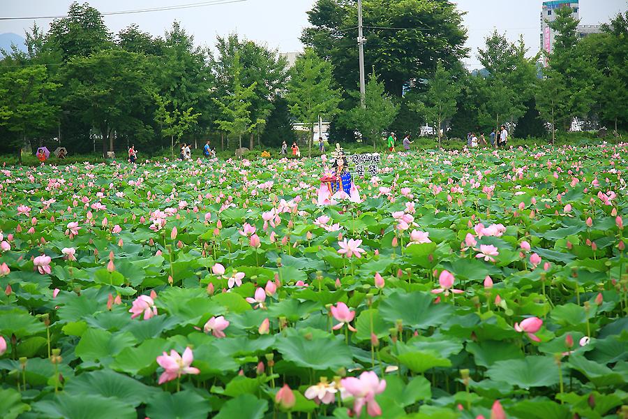 연못에 가득한 연꽃