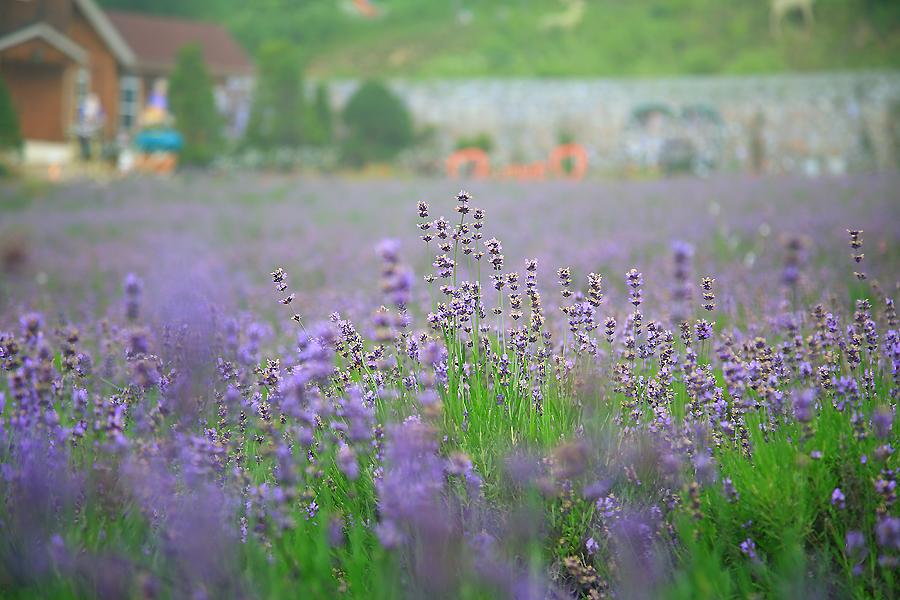 라벤더 밭
