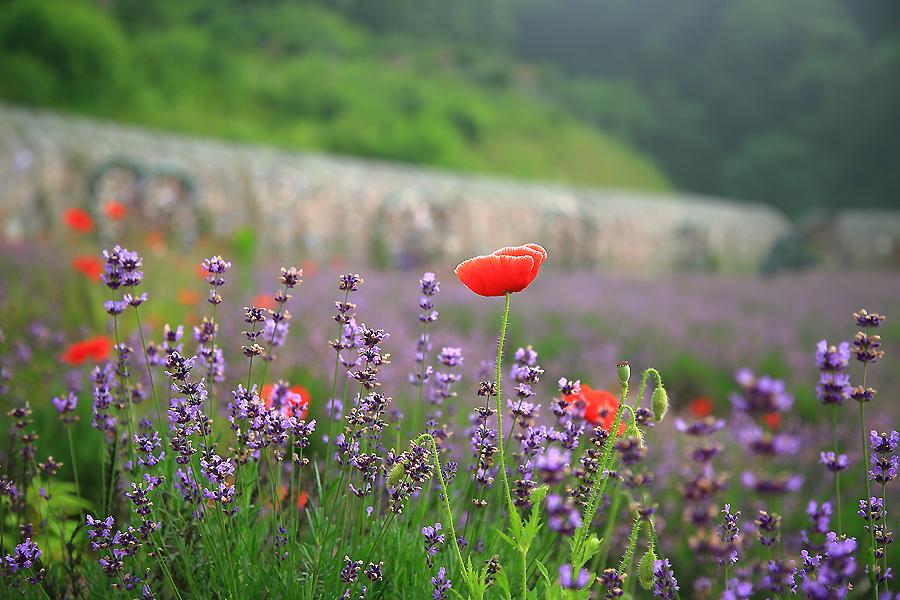 라벤더들 사이로 보이는 양귀비꽃