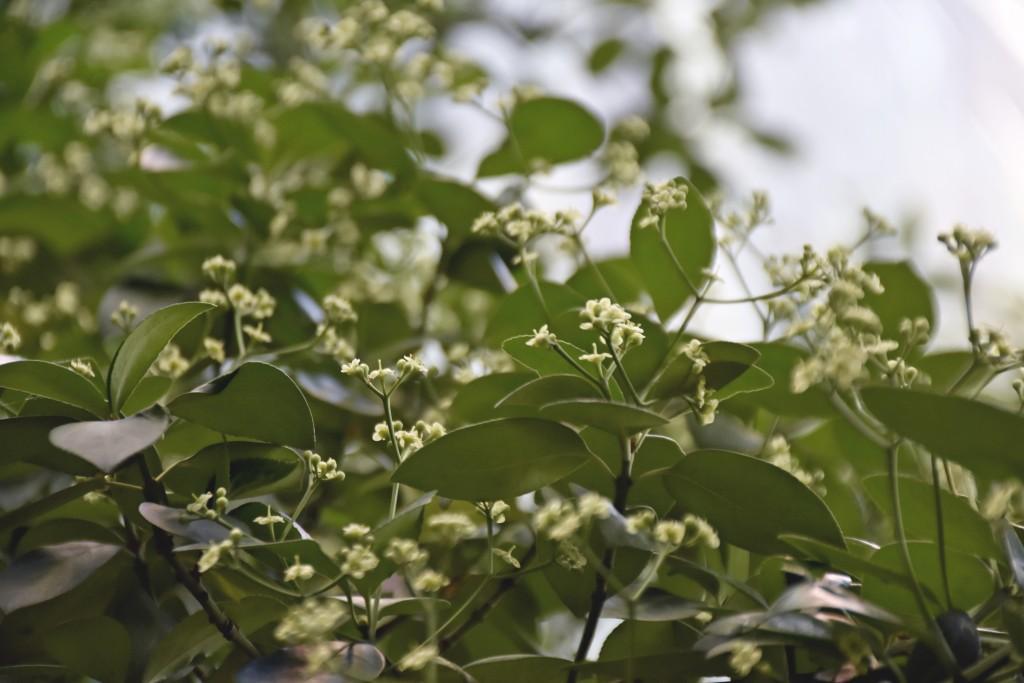 꽃이 핀 사철나무