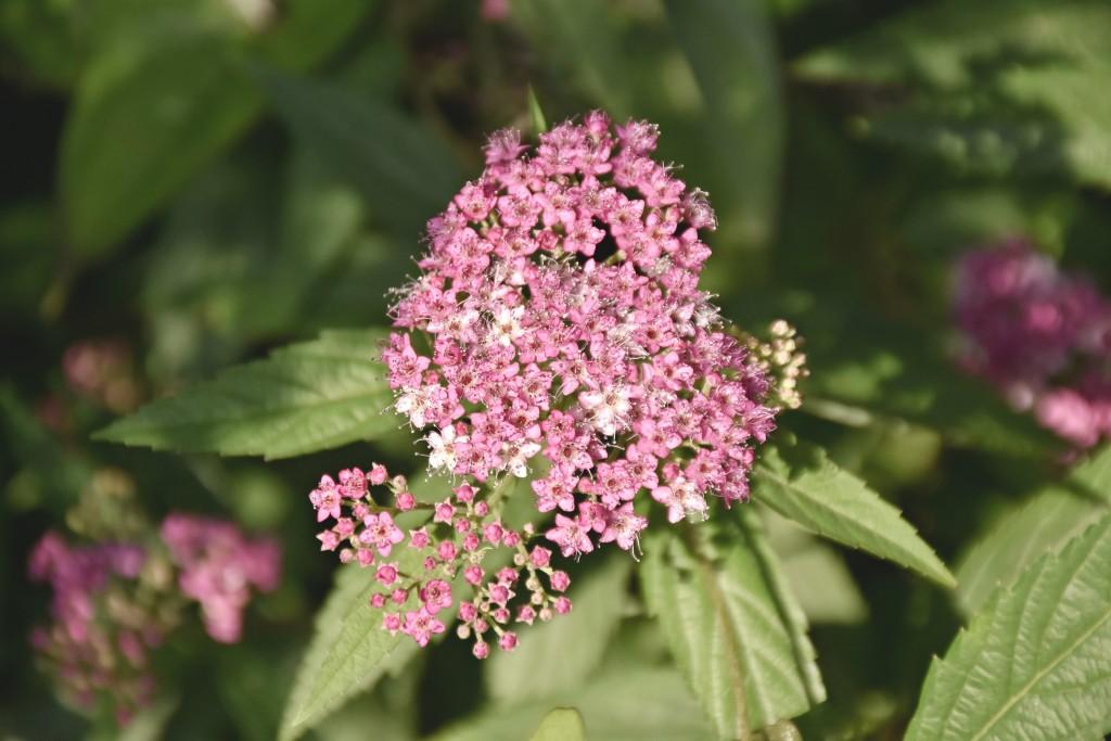 일본조팝나무<br /> 꽃&#8221; width=&#8221;1024&#8243; height=&#8221;683&#8243; /></p> <p>하얀 잎 속에서 노오란 수술이 나온 남천은 시냇물이 흐르는 듯이 자연스럽고 분홍색 해당화는 장미와는 또 다른 매력을 풍기며 사람들에게 다가와 다소곳이 인사한다.</p> <p><img class=
