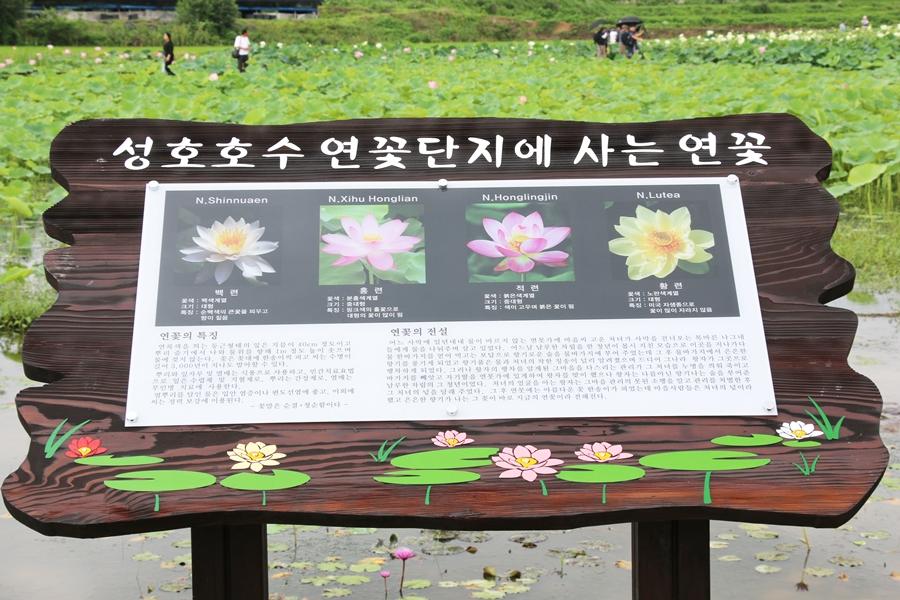 성호호수 연꽃단지에 사는 연꽃 설명글