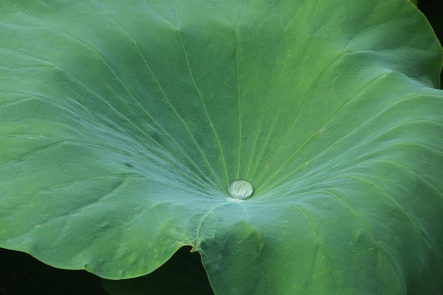 연잎의 물방울