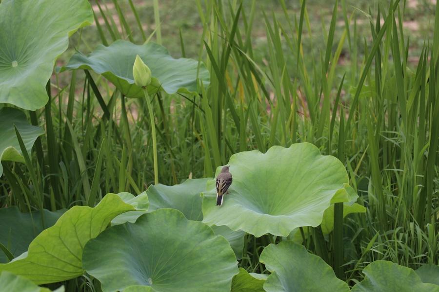 연잎에 앉은 개개비