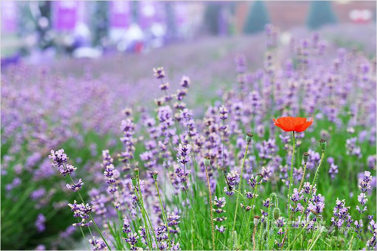 라벤더밭 가운데 양귀비