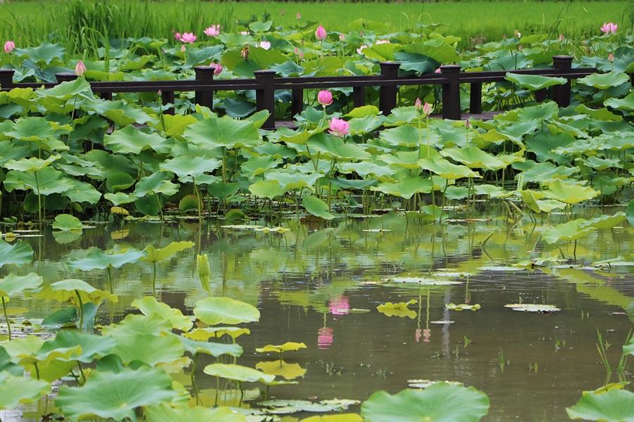 연못과 연꽃들