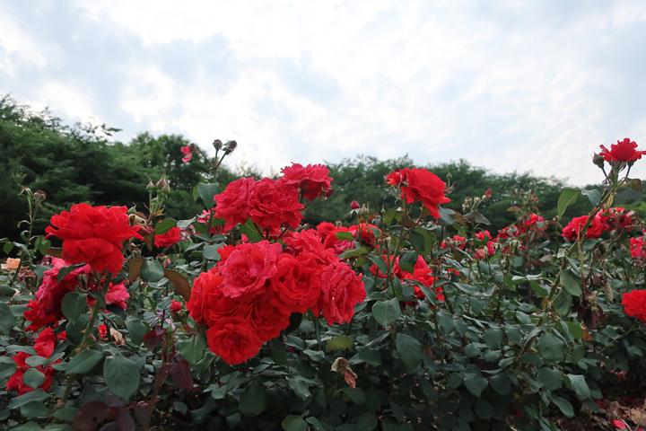 노적봉공원 장미원 (6월)