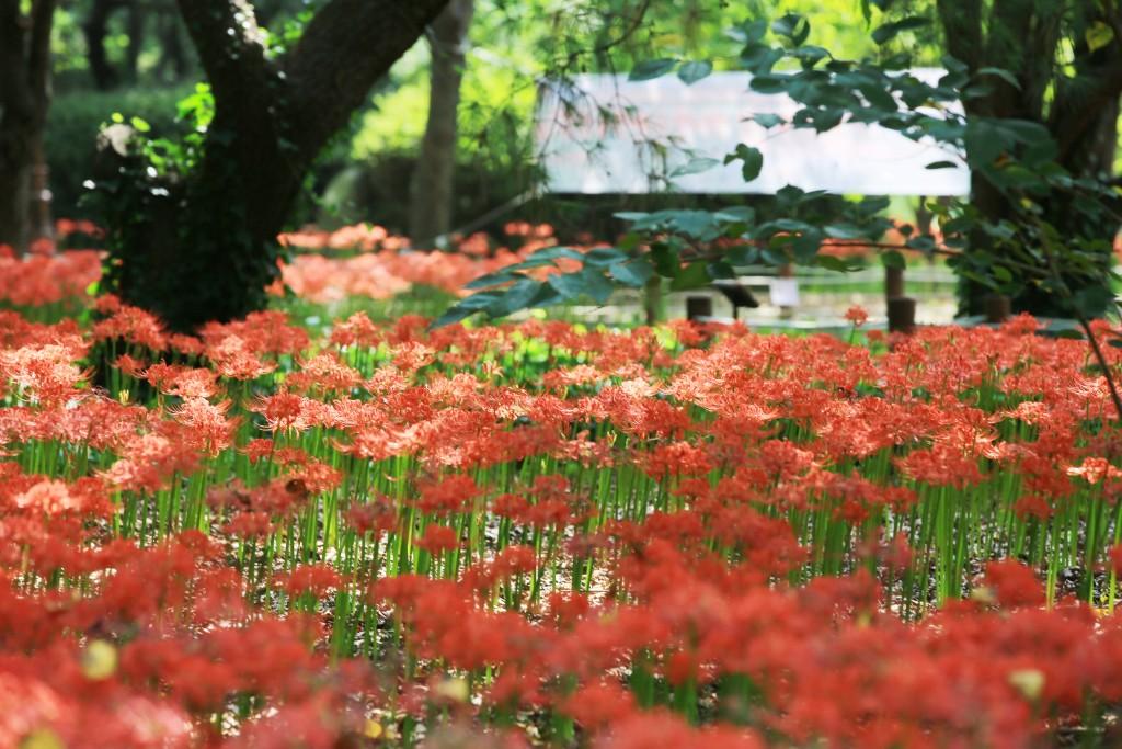 꽃무릇 012