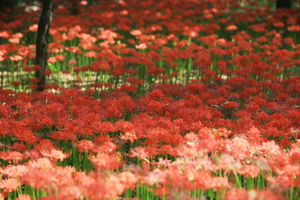 꽃무릇 014