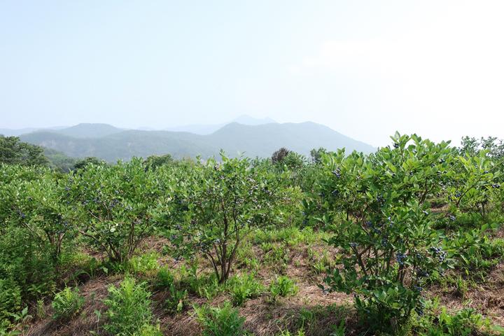 푸른언덕 블루베리 농장