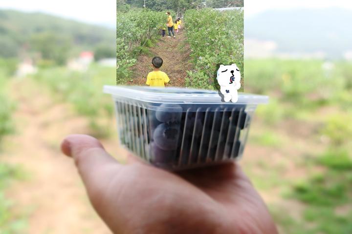 블루베리 수확 체험