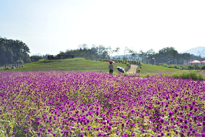 양주 천일홍 꽃밭