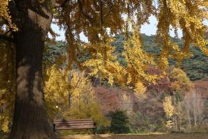 남한산성 행궁과 침괘정의 아름다운 은행나무