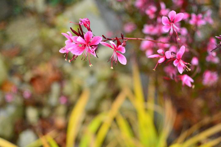 가우라 꽃