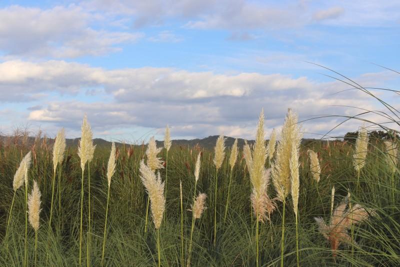양주 나리공원 팜파스그래스 1