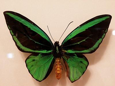 녹색 나비