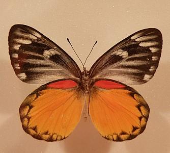주황색 나비
