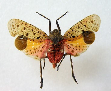 폴체라꽃매미