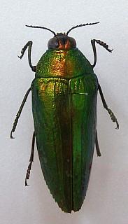 녹색벌레의 모습