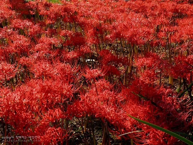 붉은 꽃무릇들의 모습