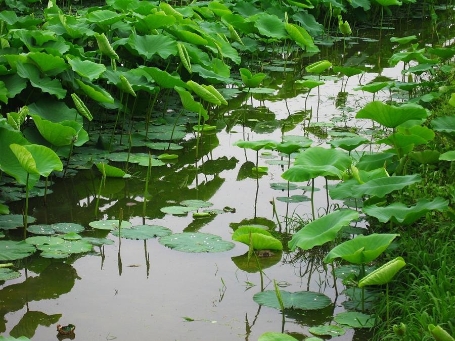 연꽃잎이 핀 연못