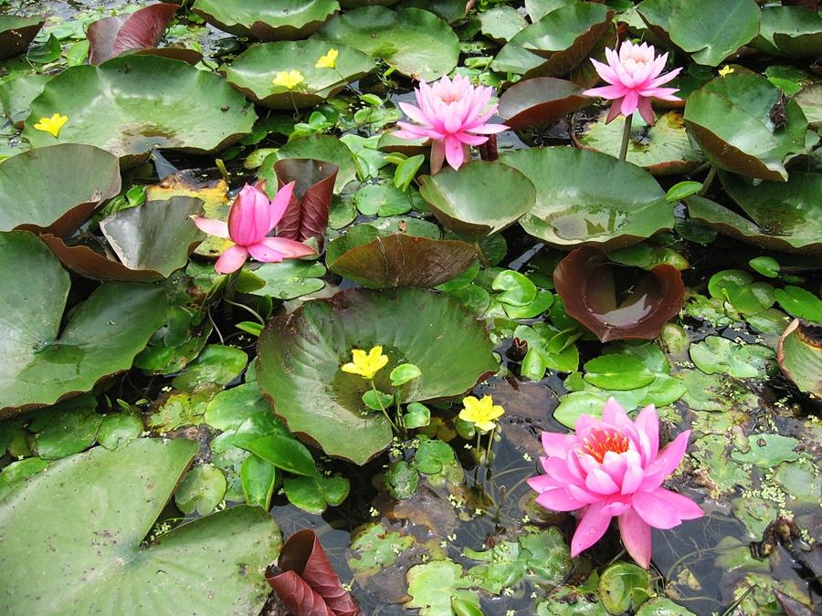 물 위에 핀 분홍연꽃들