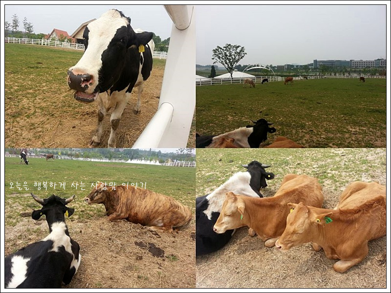 여러 종류의 소를 초원에 풀어놓은 모습