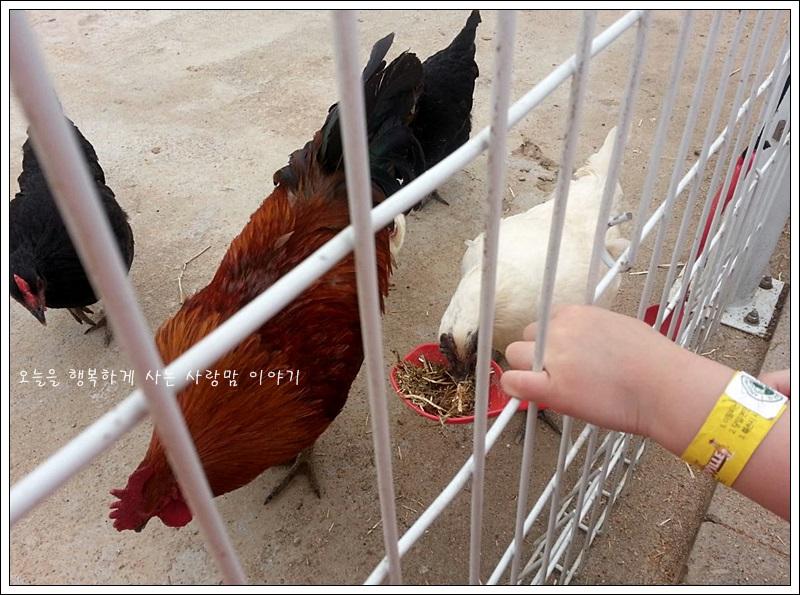 먹이를 먹는 닭들의 모습
