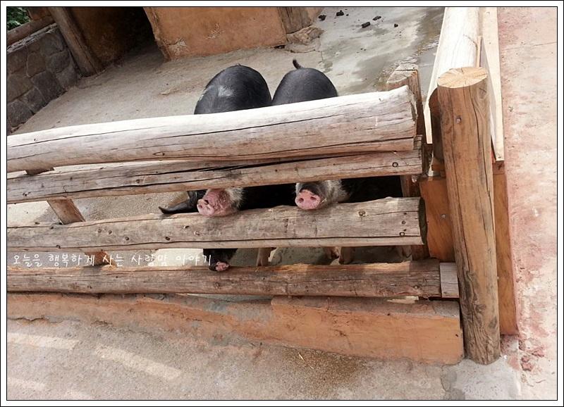 울타리 사이로 코를 내밀고 있는 돼지들