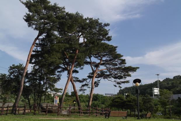 고인돌과 고인돌 주변에 서 있는 높은 소나무의 모습