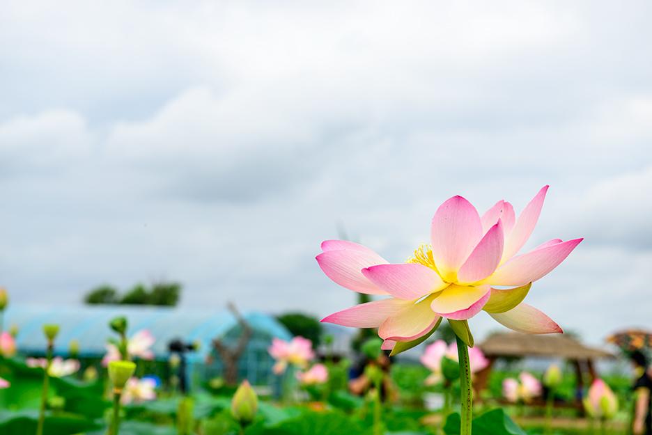 만개한 연꽃의 모습