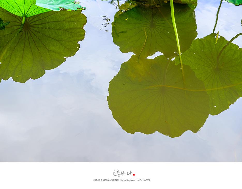 물 위에 비친 커다란 연잎