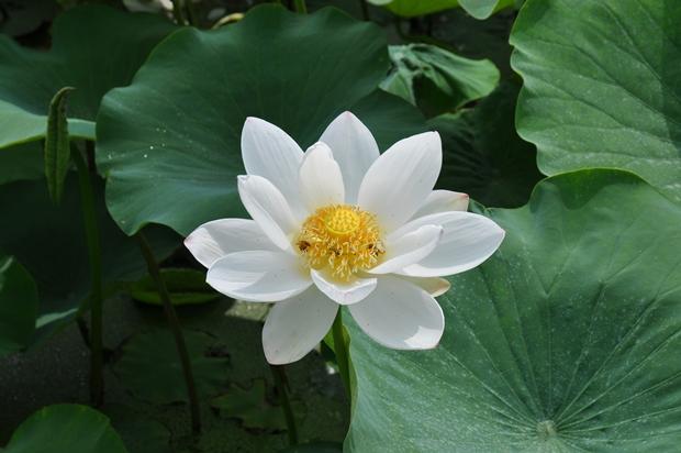 하얀색 연꽃의 모습