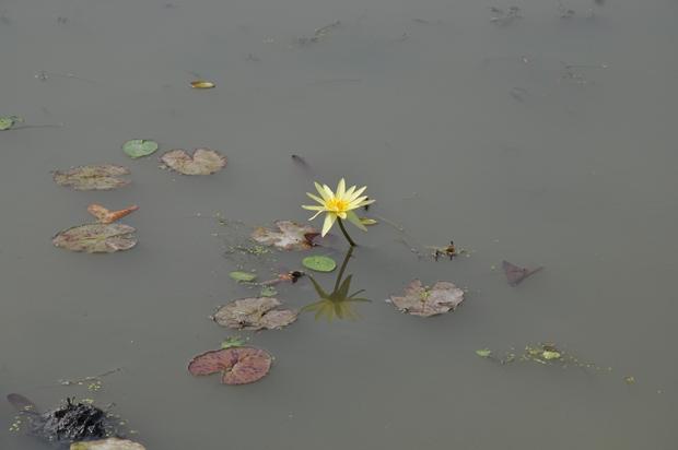 연못 위로 살짝 올라와 있는 수련의 모습