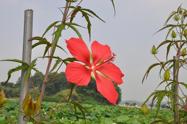 진홍색 큰 꽃잎이 달려 있는 히비스커스의 모습
